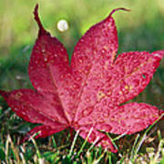 Red Maple Leaf And Dew Poster