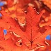 Peak Color Maple Leaves Poster