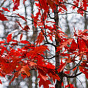 Red Maple Tree Poster