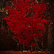 Red Maple Tree Too Poster