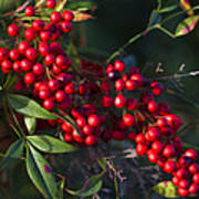 Red Nandina Berries - The Heavenly Bamboo Poster