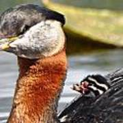 Red-necked Grebe And Chick Poster
