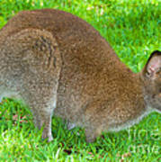 Red Necked Wallaby Poster