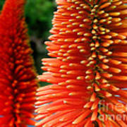 Red-orange Flower Of Eremurus Ruiter-hybride Poster