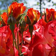 Red Orange Roses Art Prints Floral Photography Poster