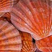 Red Orange Sea Shells Poster