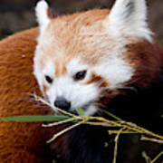 Red Panda  Ailurus Fulgens In Captivity Poster