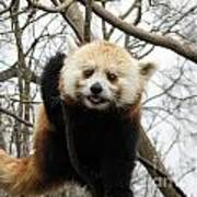 Red Panda Bear In A Tree Poster