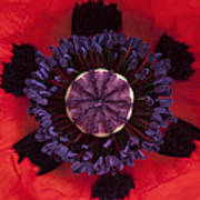 Red Papaver Orientale Poster