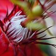 Red Passion Flower Stamens Poster