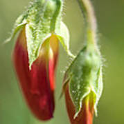 Red Pea Buds Poster