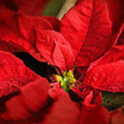 Red Poinsettia 2 Poster