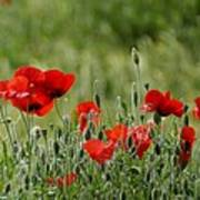 Red Poppies 3 Poster