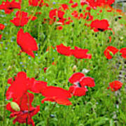 Red Poppies Flowers In Field Poster