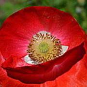Red Poppy 3 Poster