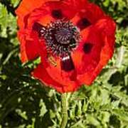 Red Poppy And Bee Poster
