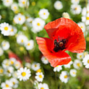 Red Poppy With Daisies On Flower Meadow Poster