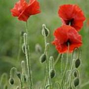 Red Red Poppies 1 Poster