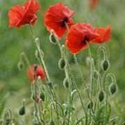 Red Red Poppies 2 Poster