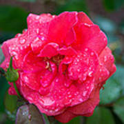 Savannah Ga Red Rose After A Rain Poster