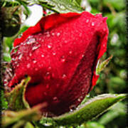Red Rose Bud With Water Drops Poster