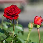 Red Rose Flower Poster