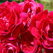 Red Rose Garden Art Prints Roses Poster