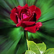 Red Rose Green Background Poster