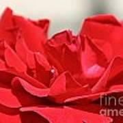 Red Rose Red Rose Poster