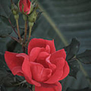 Red Rose With Bud Poster
