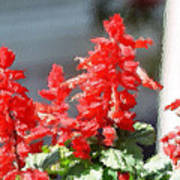 Red Salvia Brush Strokes Poster
