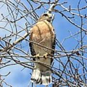Red Shouldered Hawk In Tree Poster