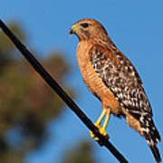 Red-shouldered Hawk On A Wire Poster