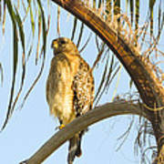 Red-shouldered Hawk On The Palm Tree Poster