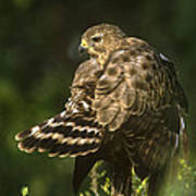 Red-shouldered Hawk Wild Texas Poster