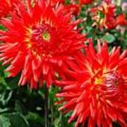 Red Spikey Flowers Poster