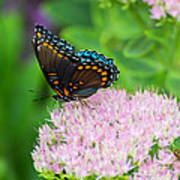 Red Spotted Admiral On Sedum - Vertical Poster
