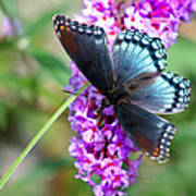 Red Spotted Purple Butterfly On Butterfly Bush Poster