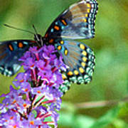 Red Spotted Purple Butterfly Photopainting Poster