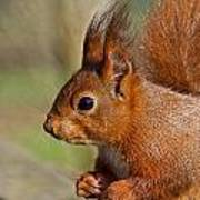 Red Squirrel 2 Poster