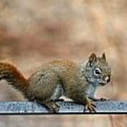 Red Squirrel On Patio Chair Poster