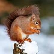 Red Squirrel Portrait Poster