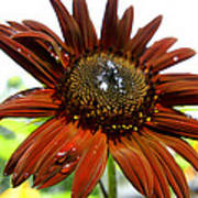 Red Sunflower After The Rain Poster