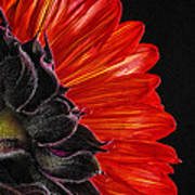 Red Sunflower Vii  Poster