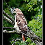 Red Tail Hawk 1 Poster