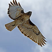 Red-tail Hawk #3094 Poster