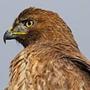 Red Tail Hawk Portrait Poster