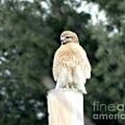 Red Tail Hawk Waiting On A Pole Poster