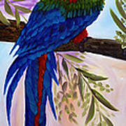 Red Tail Macaw Poster