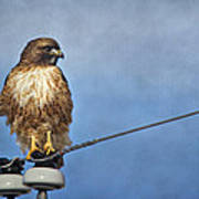 Red Tail On Watch Poster